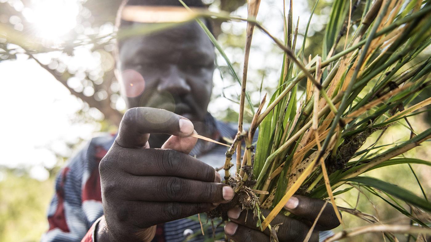 En mann undersøker larver fra svarte fluer funnet nær Agogo-elva i Nord-Uganda.